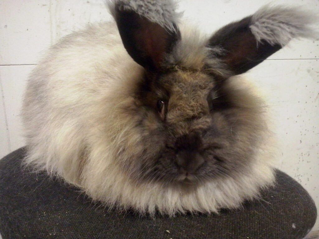 One of Vidgis' Angora rabbits
